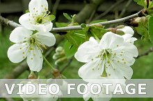 Cherry blossom flowers on the tree branch