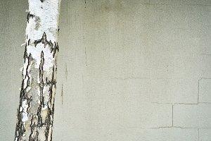 Silver Birch Against Wall