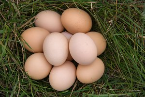chicken eggs lying in a green grass
