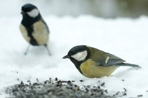 titmouse eats sunflower seeds on the snow in the winter