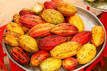 cacao fruit close up photo