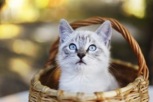 siamese little kitten in wicker basket