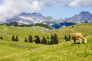 A cow in the moutains