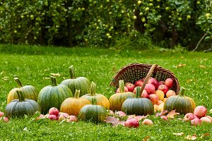 Freshly harvested pumpkins and apples in autumn garden