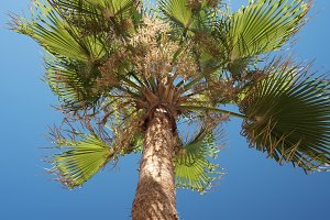 Low Angle View Of Palm Trees Against Clear Blue Sky, Paphos, Cyprus