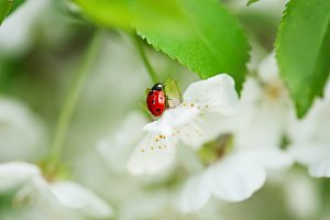 Cherry flowers and ladybug