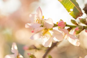 Pink almond flowers