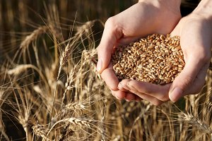 Close up of woman's hands holding wheat grains