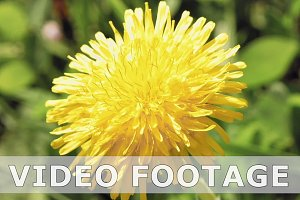 Yellow dandelion flower in the wild environment
