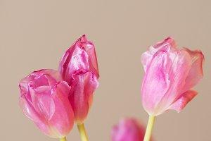 Pink tulip blooms