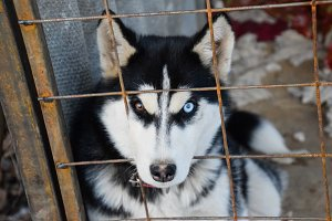 Husky Dog with different eyes. Black and white husky. Brown and blue eyes