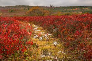 Rocky pathway through red leaves Dolly Sods