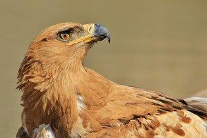 Tawny Eagle - Looking at Heaven