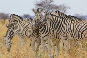 Zebra - Loving Stripes and Life
