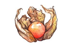 Watercolor physalis hand drawn art