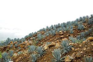 Tequila landscape, Mexico.