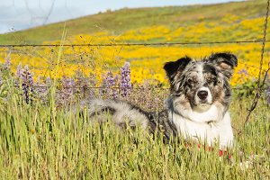 Australian Shepherd dog in field