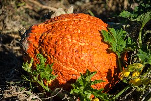 Orange hubbard squash in a field