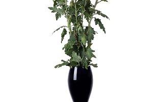 Yellow chrysanthemum in a black vase