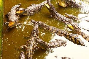 crocodiles in pool on crocodile farm