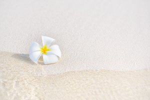 One single alone plumeria flower on white sand beach with sea wave line