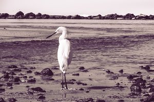 White Heron on the beach