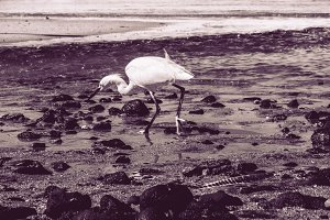 Heron on the beach fishing – sunrise