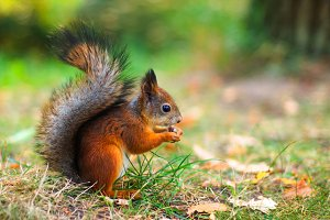 Cute red squirrel autumn fall leaves close up