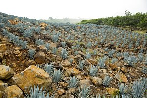 Agave Tequila landscape, Mexico.