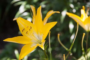 blooming yellow lilies growing in the park