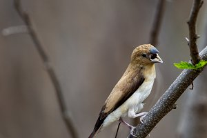 African silverbills (Euodice cantans)