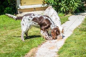 Two hunting dog eating