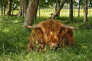 Scottish higland cow