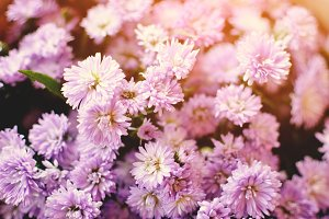 Hipster tone chrysanthemum
