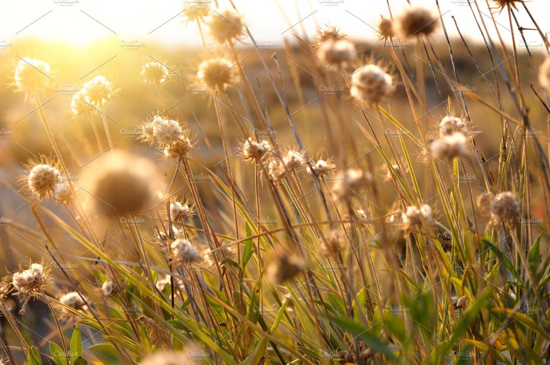 Beautiful sunrise light through thorn or bur flowers and grass beautiful sunrise light through thorn or bur flowers and grass nature photos creative market izmirmasajfo