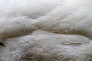 White texture of swan feathers