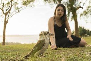 Feeding Kookaburra Bird