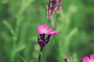 Wild carnation flower