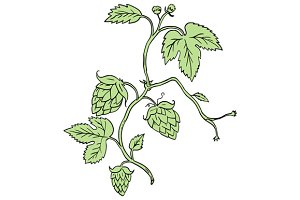 Hop Plant Climbing Drawing