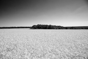 The wheat field in black and white