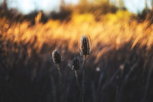 Golden weeds