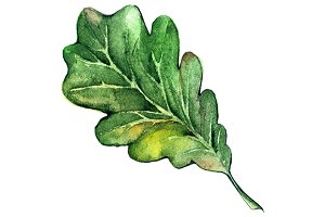 Watercolor green oak leaf vector