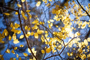 Bright yellow autumn leafs and blue