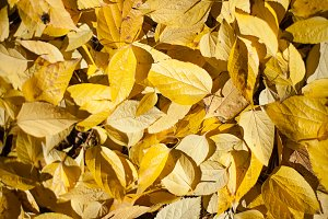 Bright yellow autumn leafs in park o