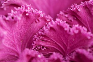Bright pink cabbage leafs closeup