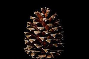 Pine cone on dark black background
