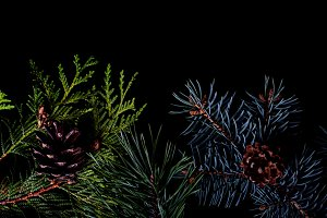 Pine and spruce branches on black