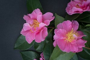 Pink Camellia Flowers on Black