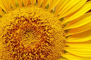 Sunflower laten with pollen