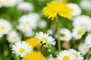 Spring flowers meadow